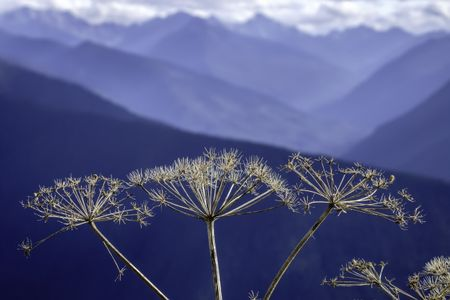 High-country wildflower in autumn: Closeup of cow parsnip (binomial name: Heracleum maximum), also known as Indian celery, with Olympic Mountains in the background (shallow depth of field)