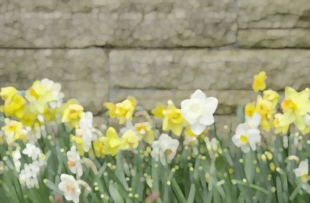 Abstract of white and yellow daffodils by garden wall in springtime