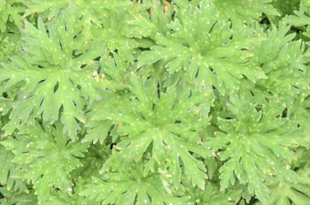 Garden abstract: Foliage of hardy geranium (binomial name: Geranium 'Nimbus') in springtime, with speckled effect, for decoration and background