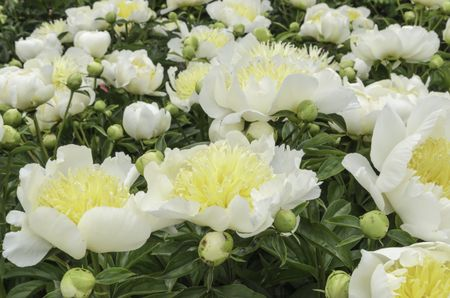 Bright peony cultivars (binomial name: Paeonia 'Honey N Cream'), many yet to bloom, in spring garden