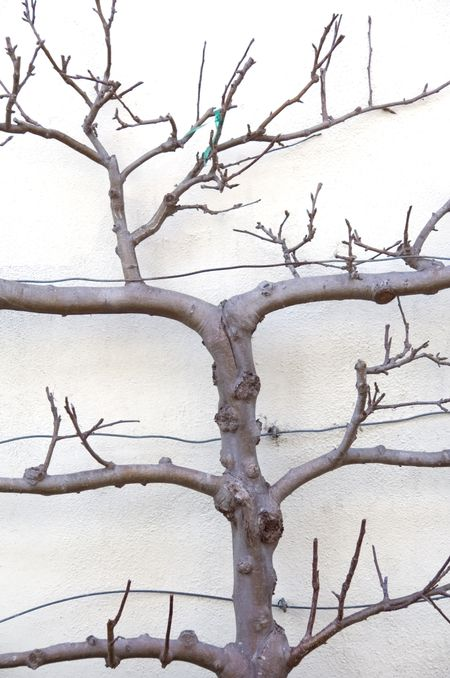 Branches of small tree trained along stucco wall of garden