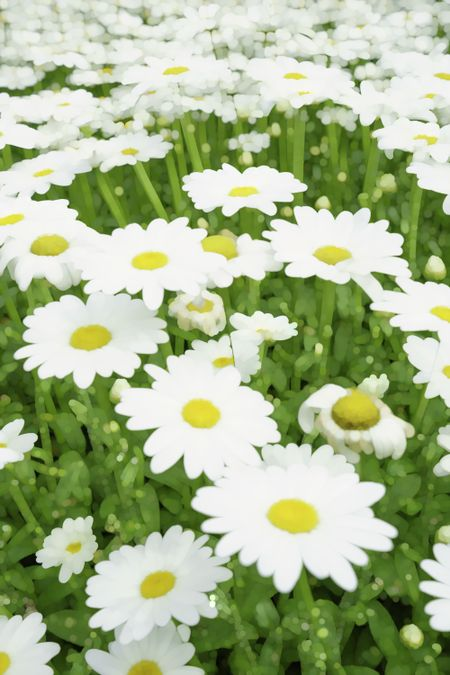 Bright abstract of white and yellow daisies, for decoration and background with motif of summer or gardening
