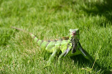 green iguana on the grass