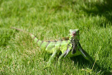green iguana on the grass