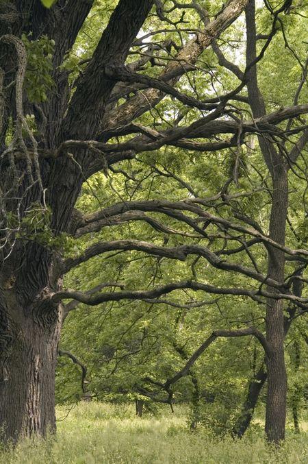 Mature burr oak, strong horizontals and diagonals, arboretum in American Midwest