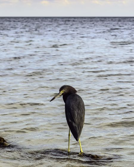 Coastal hunter early in the evening: Greenish black aquatic bird, possibly a cormorant, standing alone on a submerged log near shore before sunset in the Florida Keys (selective focus)