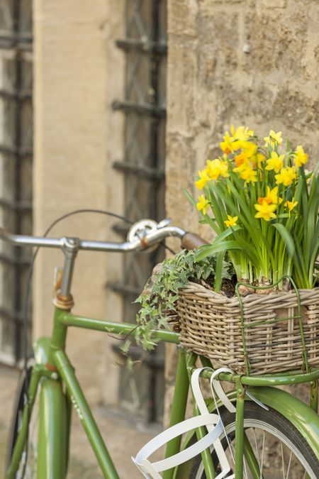 Green rustic bicycle carrying fresh daffodils in a basket