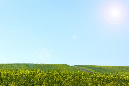 Rape seed crops growing on a bright Spring day