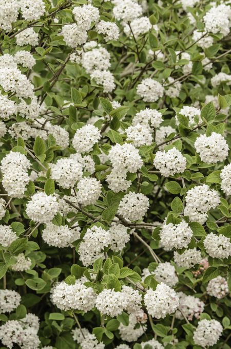 Compact Koreanspice viburnum (binomial name: Viburnum carlesii 'Compactum'), a shrub with  white flowers that bloom in spring with a far-reaching and, many would say, seductive fragrance like perfume