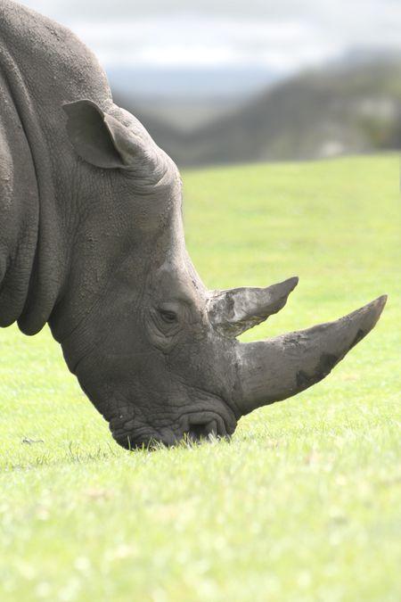 Big white rhinoceros eating grass