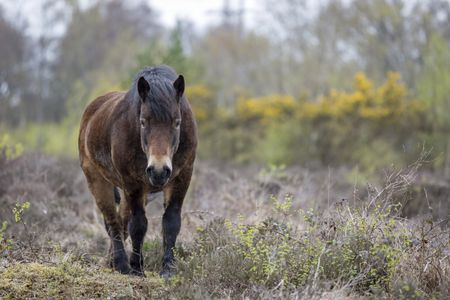 Wild ponies on marshland in Springtime