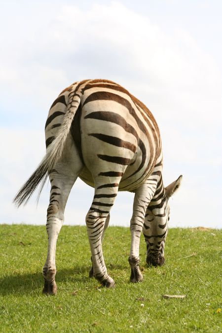 beautiful zebra eating grass from the back