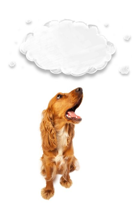 Cute brown cocker spaniel with cloud above her head