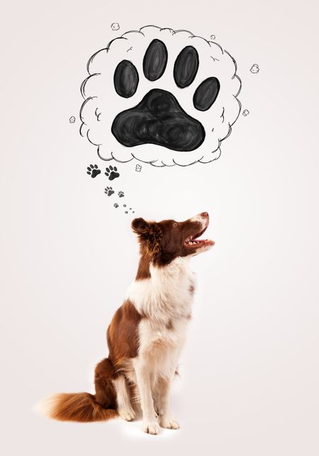 Cute brown and white border collie thinking about a paw in a thought bubble above his head