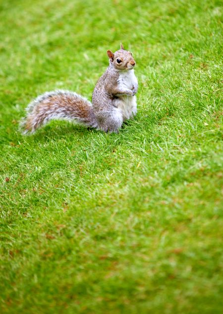 Little squirrel standing on grass outdoors at the park