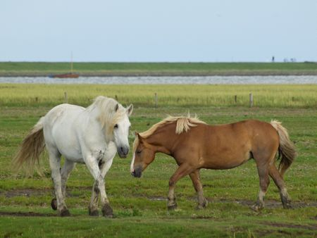 horses on the Island of juist