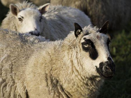 sheeps on a german meadow