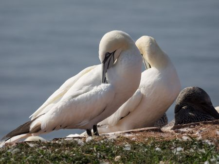 Birds on the Island of helgoland