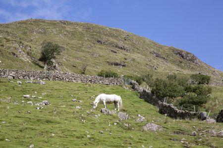 Wild Whiet Horse; Lettermash, Connemara; Galway; Ireland