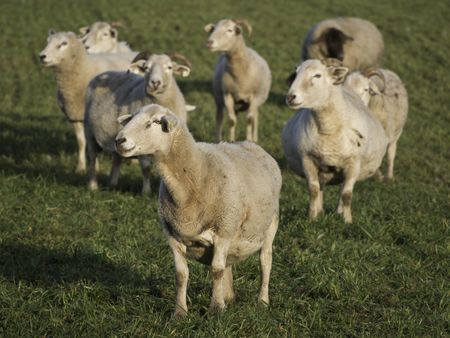 sheep in germany