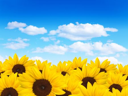Beautiful field of sunflowers with a blue sky on the background