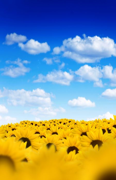 Field of beautiful yellow sunflowers with a blue sky on the background