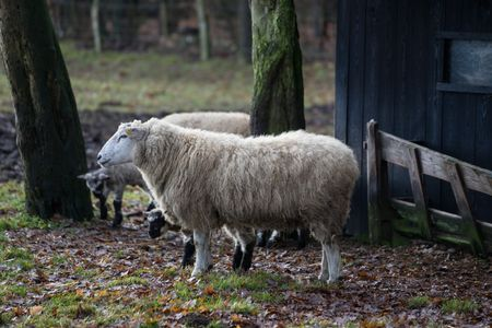 sheeps in germany