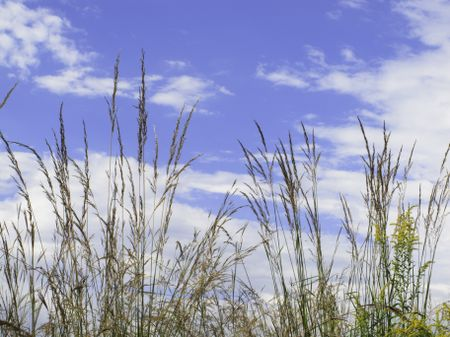Prolific in late summer: Tall prairie grass and goldenrod against a partly cloudy blue sky