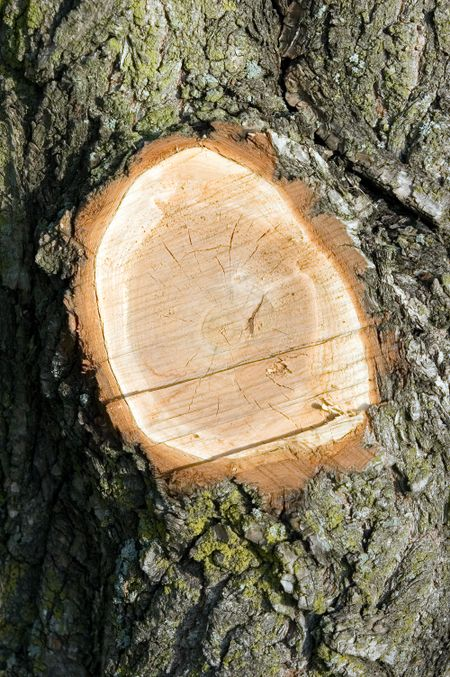 Stump of tree limb