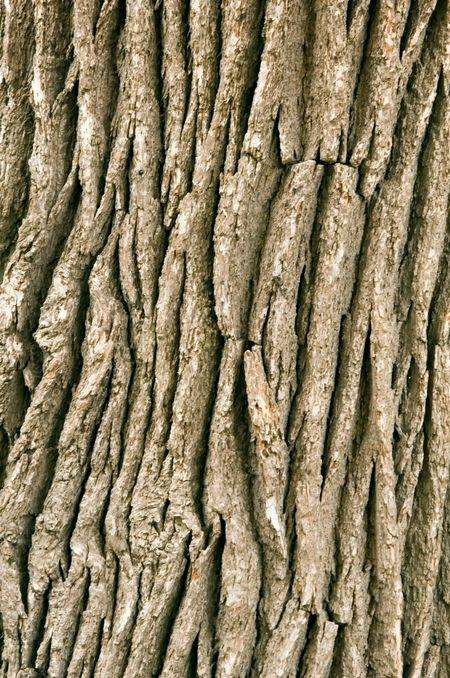 Bark on oak tree