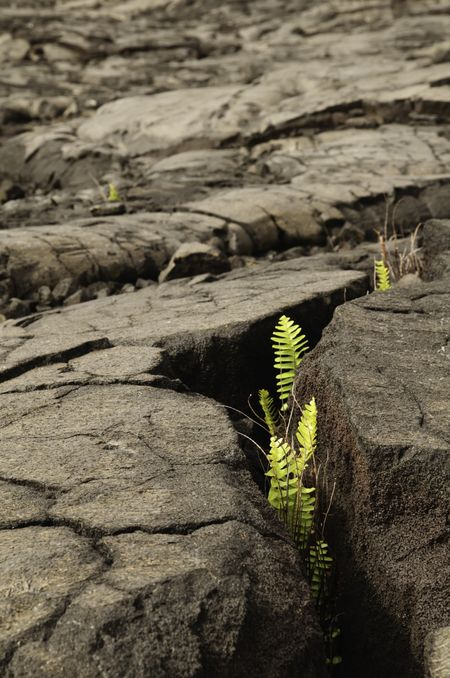 Overcoming adversity: Life emerges in field of pahoehoe lava, Hawaii Volcanoes National Park