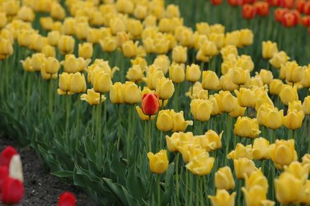 Red and yellow tulip in a bed of yellow tulips