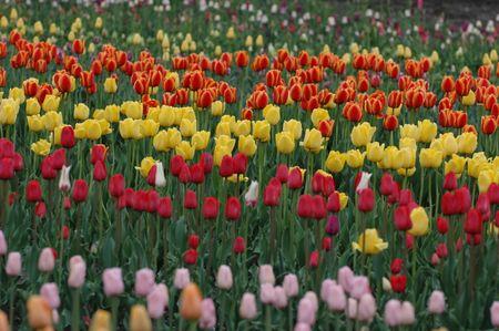 Field of tulips on a tulip farm