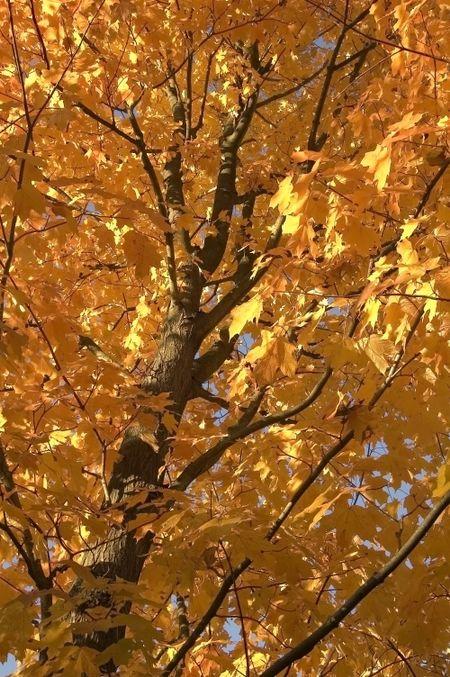 Maple tree in morning light