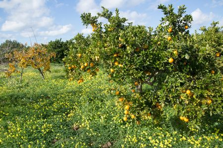 Orange Grove and Wild Flowers; Santa Agnes; Ibiza; Spain