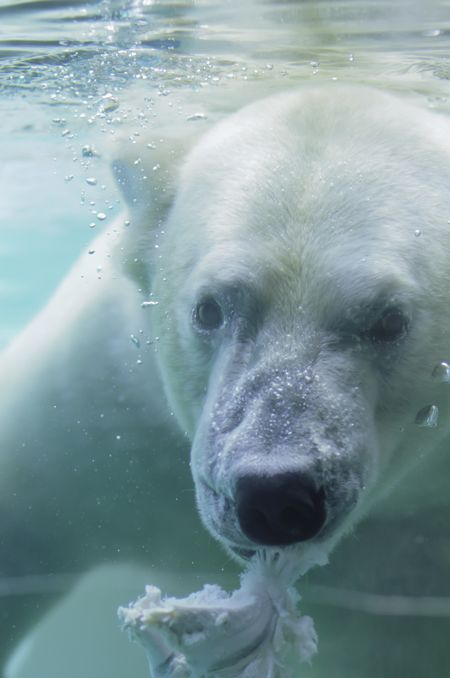 Polar bear (scientific name: Ursus maritimus) feeding underwater