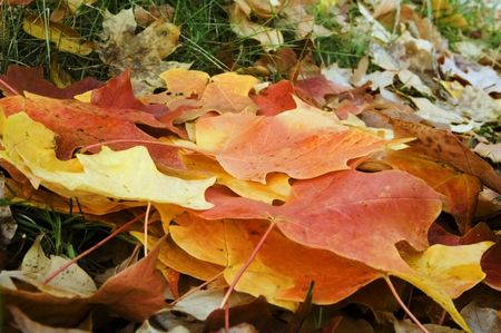 Maple leaves on forest floor in autumn