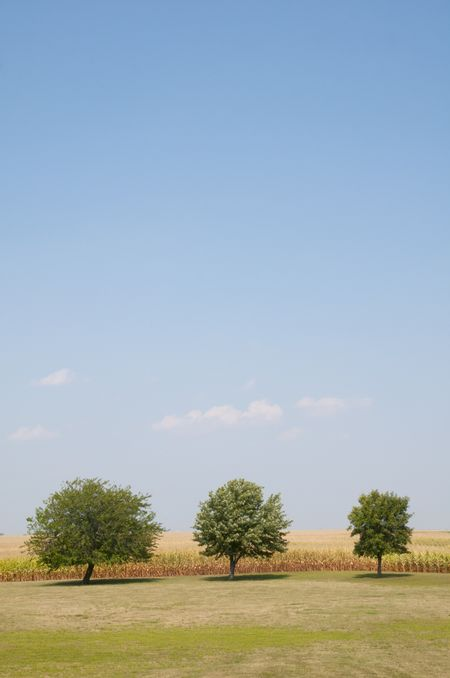 Blue sky with a few distant clouds above three trees by corn field on a summer day