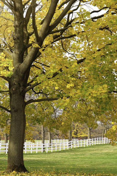 Autumn scenic on a horse farm in northern Illinois: Leaves of maple tree changing color over paddock on public horse farm in Warrenville, Illinois, USA, at end of October