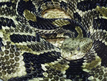Canebrake rattlesnake (scientific name: Crotalus horridus)