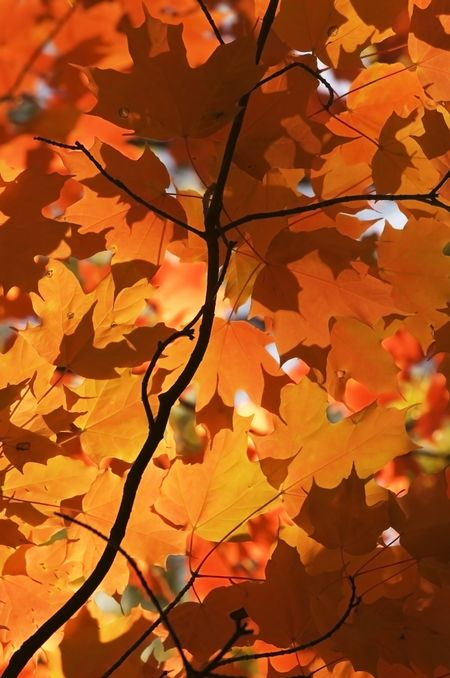 Fall color - maple leaves and silhouette of branch at dawn