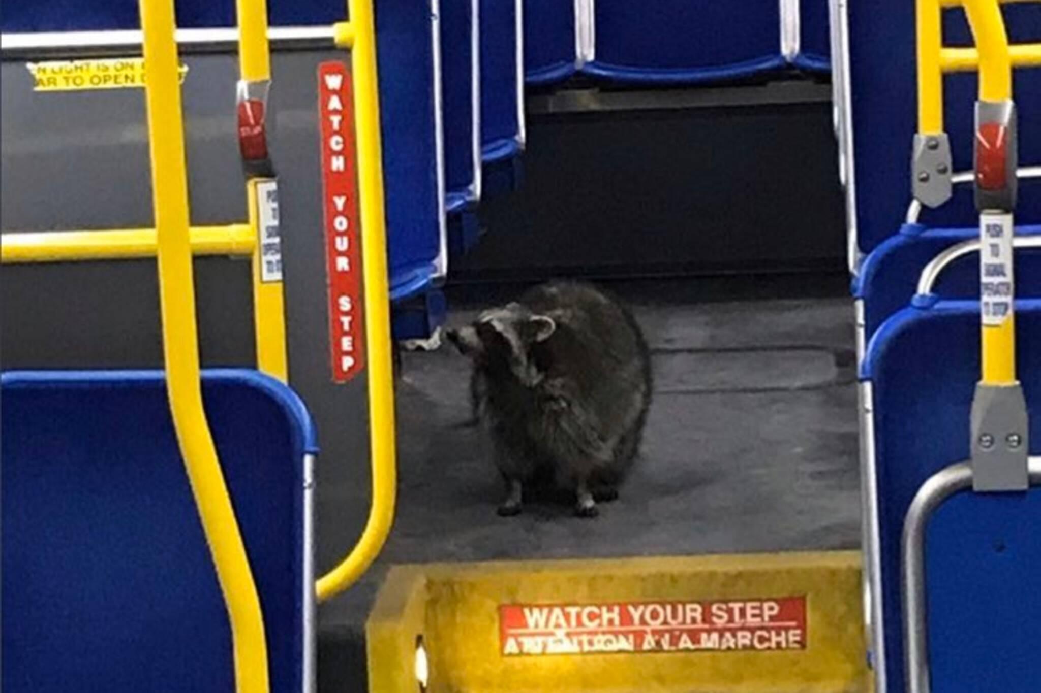 raccoon bus