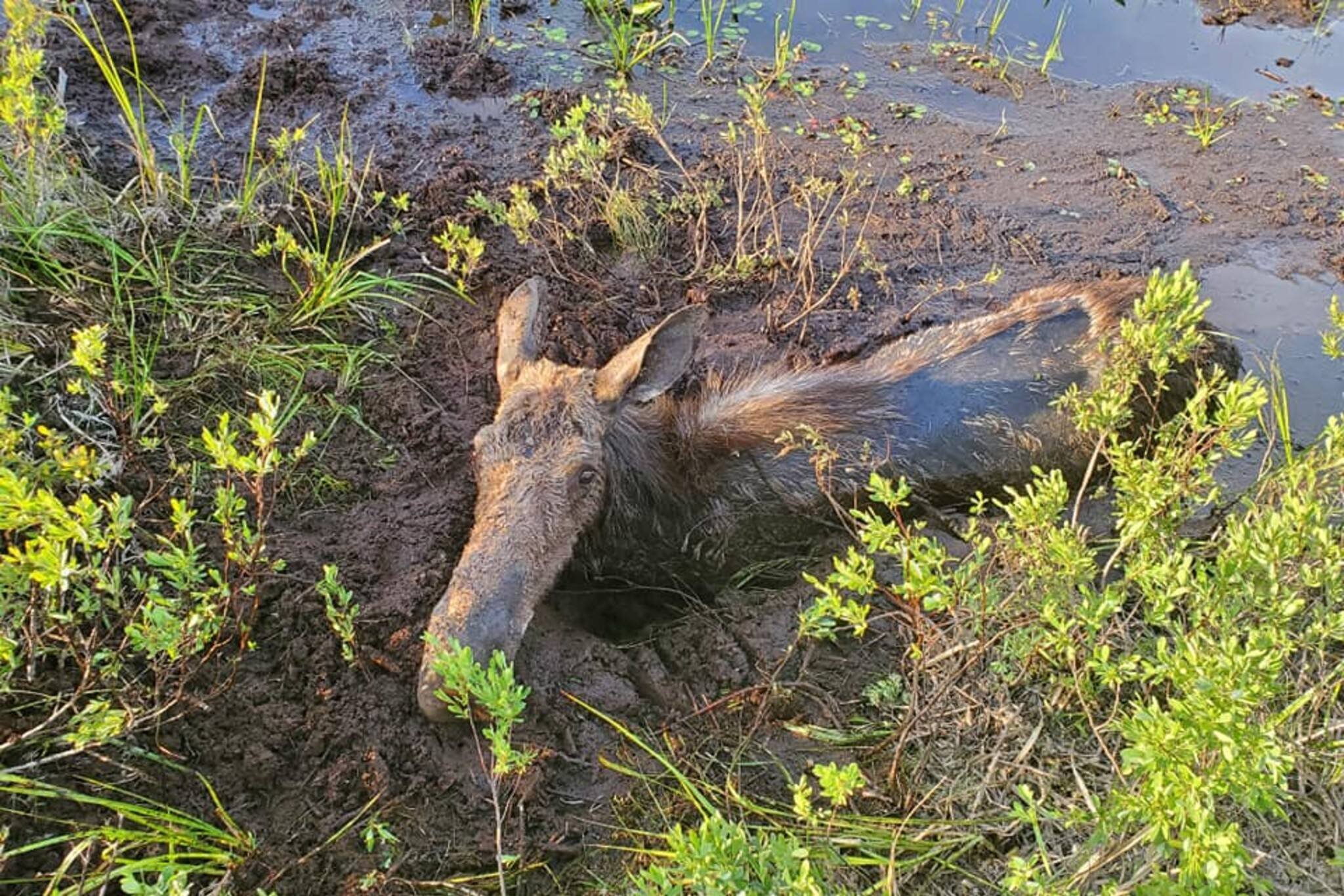 moose mud
