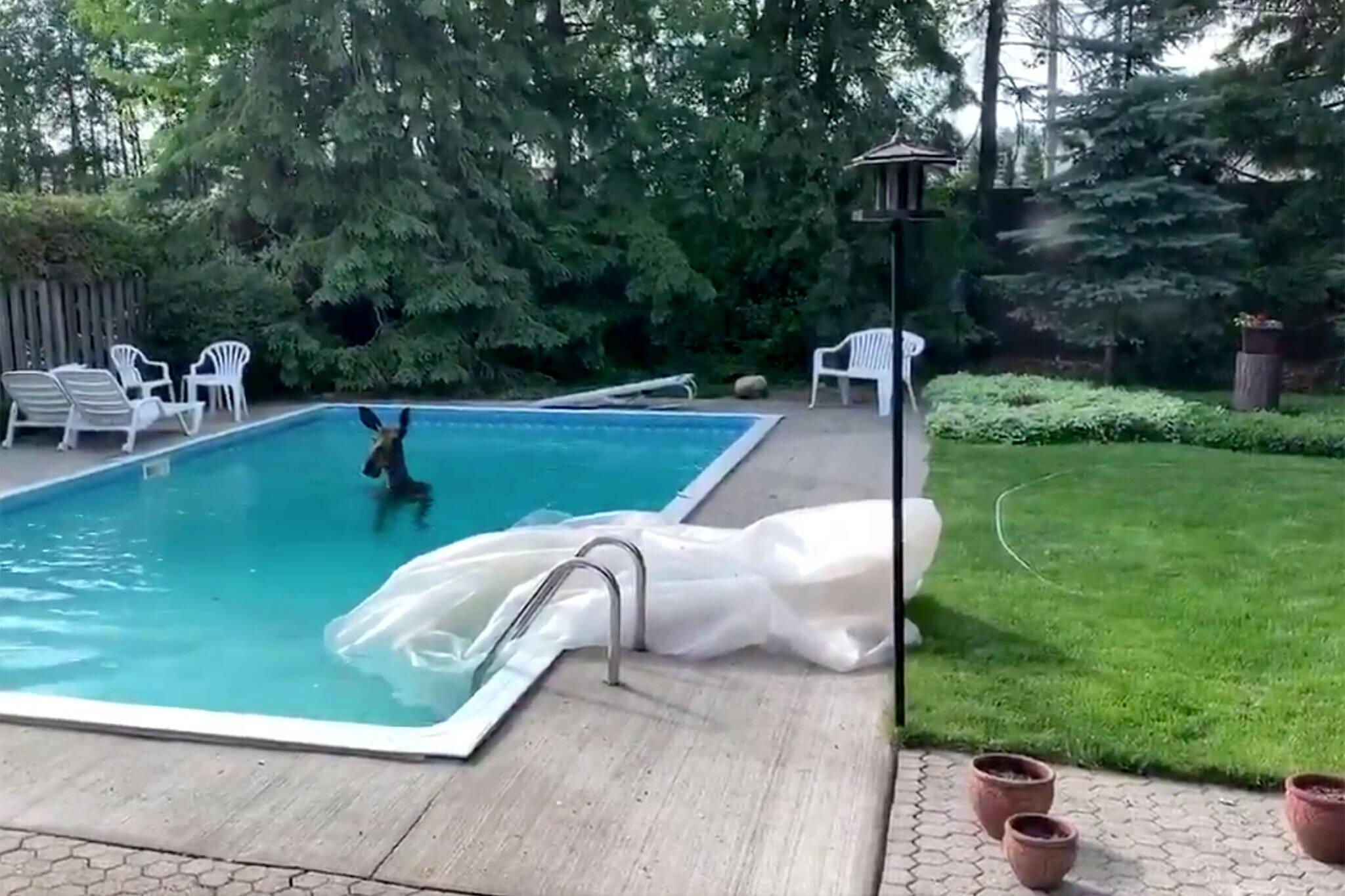 moose in pool