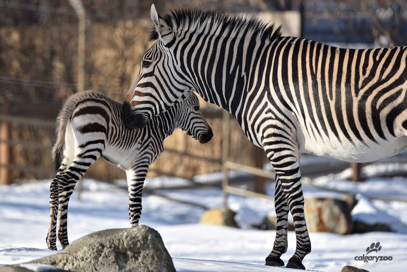 calgary zoo zebra