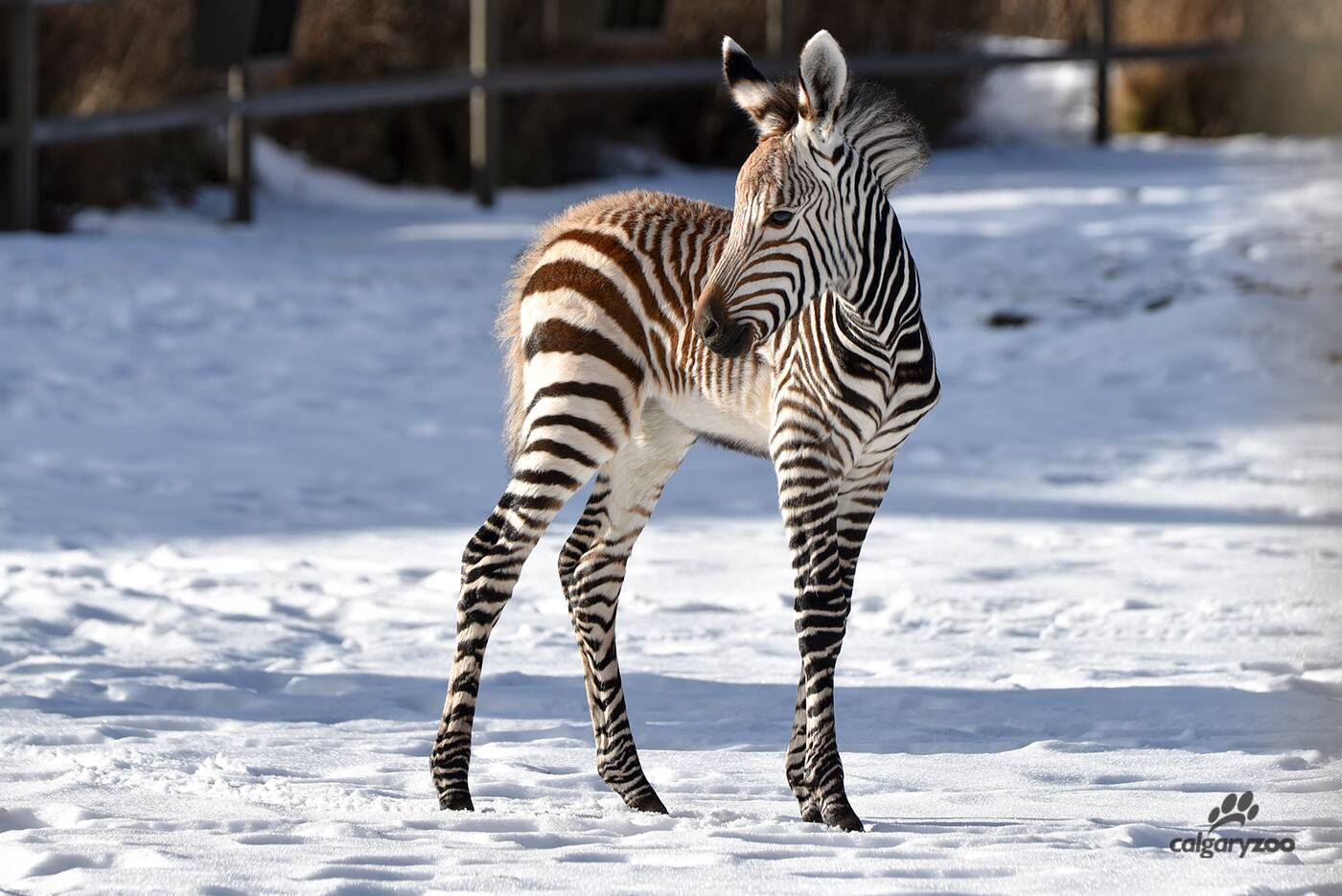calgary zoo baby zebra