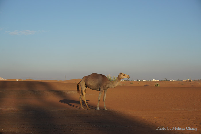 One of the camels from a nearby ranch, roaming amidst the cars.