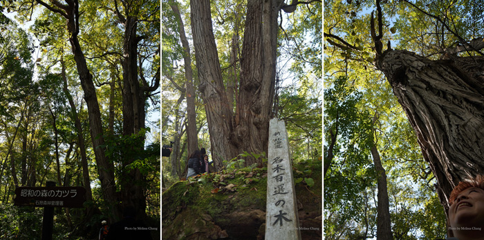 This Katsura tree is 300 years old and was designated one of the 100 famous trees of Japan.