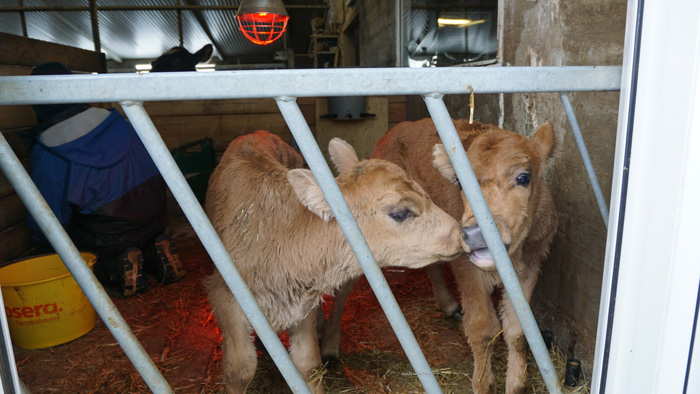 These calves were born just one or two days prior. They were still learning to walk and very curious.