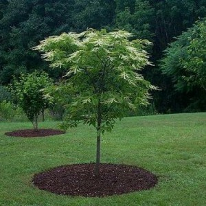 With its modest profile and year-round interest, Oxydendrum arboreum - sourwood